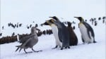 Emperor Penguins Peng-yi and Som-yi (황제펭귄 펭이와 솜이)'s picture
